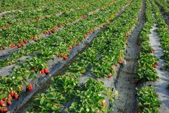 Élevage de fruits de fraise Photographie stock