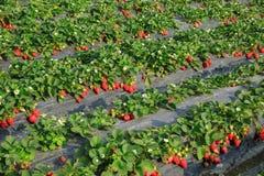 Élevage de fruits de fraise Image libre de droits