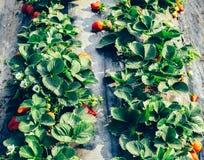 Élevage de fruits de fraise Images libres de droits