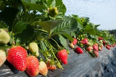 Élevage de fruits de fraise Photos libres de droits