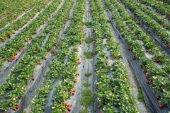 Élevage de fruits de fraise Photo libre de droits