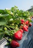 Élevage de fruits de fraise Images stock