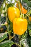 Élevage de fruits jaune de poivre sur une usine s'élevante Photos libres de droits