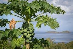 Élevage de fruits non mûr de papaye naturellement dans une cime d'arbre Images stock
