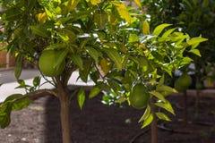 Élevage de fruits orange vert du ` s de couleur sur l'arbre Photographie stock libre de droits