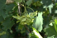 Élevage de graines d'arbre d'érable de Norvège Photographie stock libre de droits