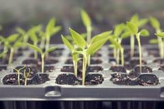 Élevage de greffes de jeune plante de poivre Images libres de droits