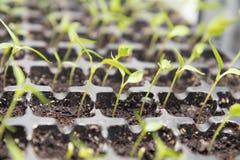 Élevage de greffes de jeune plante de poivre Photo libre de droits