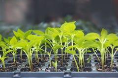 Élevage de greffes de jeune plante de poivre Photo stock