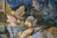 Élevage de grenouille dans la ferme étroite Photos libres de droits