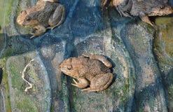 Élevage de grenouille dans la ferme étroite Photo stock