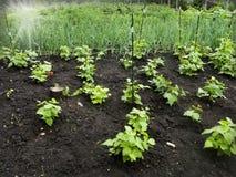 Élevage de haricots (phaseolus vulgaris) Photographie stock
