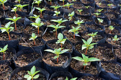 Élevage de jeune plante Photo stock