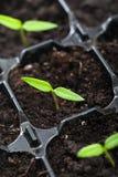 Élevage de jeune plante de source Images stock