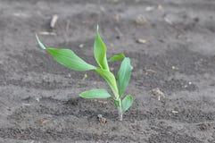 Élevage de jeune plante de maïs Photo libre de droits