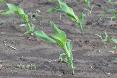 Élevage de jeune plante de maïs Images libres de droits