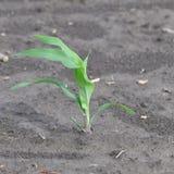 Élevage de jeune plante de maïs Images stock