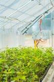Élevage de jeunes jeunes plantes de prunier en serre chaude Photos stock