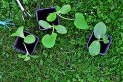 Élevage de jeunes plantes de courgette et de potiron Photos libres de droits