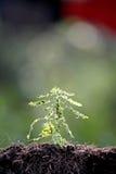 Élevage de jeunes plantes d'arbre forestier. Photos stock
