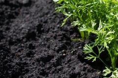 Élevage de jeunes plantes de carottes Image stock
