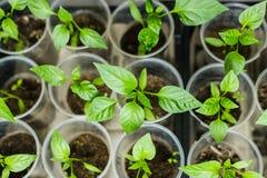 Élevage de jeunes plantes de poivre Photographie stock