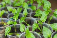 Élevage de jeunes plantes de poivre Image libre de droits