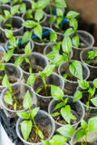 Élevage de jeunes plantes de poivre Photos stock