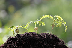 Élevage de jeunes plantes de tamarinier. Image libre de droits