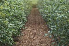 Élevage de jeunes plantes de tomate Image stock