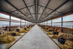 Élevage de jeunes veaux de laiterie de la race de Montbliard et de débardeur dans les stalles lâches avec le foin Images stock