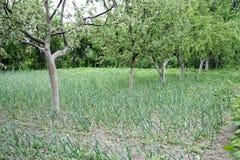 Élevage de l'ail vert Photo libre de droits