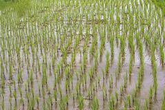 Élevage de l'eau de boue de gisement de riz Image stock