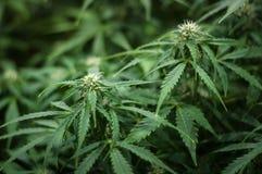Élevage de la fleur de cannabis Photo stock