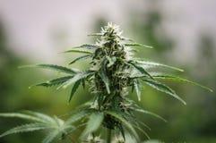 Élevage de la fleur de cannabis Photo libre de droits