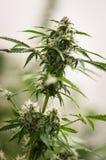 Élevage de la fleur de cannabis Photographie stock