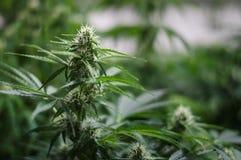 Élevage de la fleur de cannabis Images libres de droits