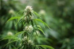Élevage de la fleur de cannabis Photographie stock libre de droits
