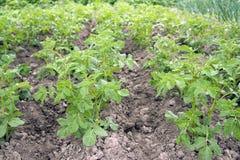 Élevage de la pomme de terre Photo stock
