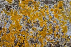 Élevage de lichen Photo libre de droits