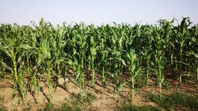 Élevage de maïs Image libre de droits