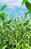 Élevage de maïs. Images stock