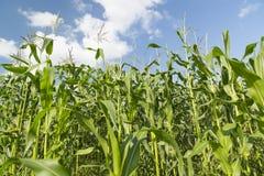 Élevage de maïs Images stock