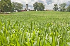 Élevage de maïs d'été Images libres de droits