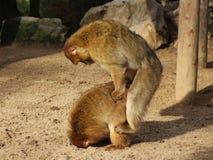Élevage de macaque de Barbarie Image libre de droits