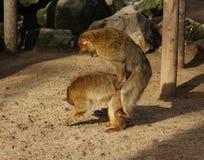 Élevage de macaque de Barbarie Photographie stock libre de droits