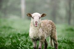 Élevage de moutons de course de Latxa dans un pré vert 2 Photo stock