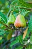 Élevage de noix de cajou Images stock