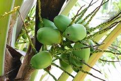 Élevage de noix de coco Image libre de droits