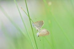 Élevage de papillon sur l'herbe Images stock
